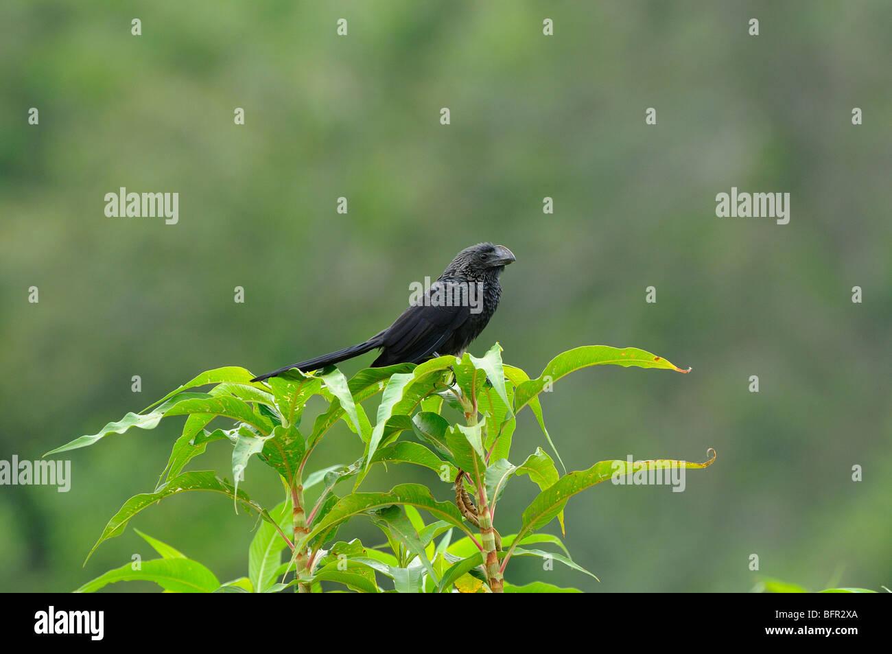 Smooth-billed Ani (Crotophaga ani) perched on top of bush, Pantanal, Brazil. - Stock Image