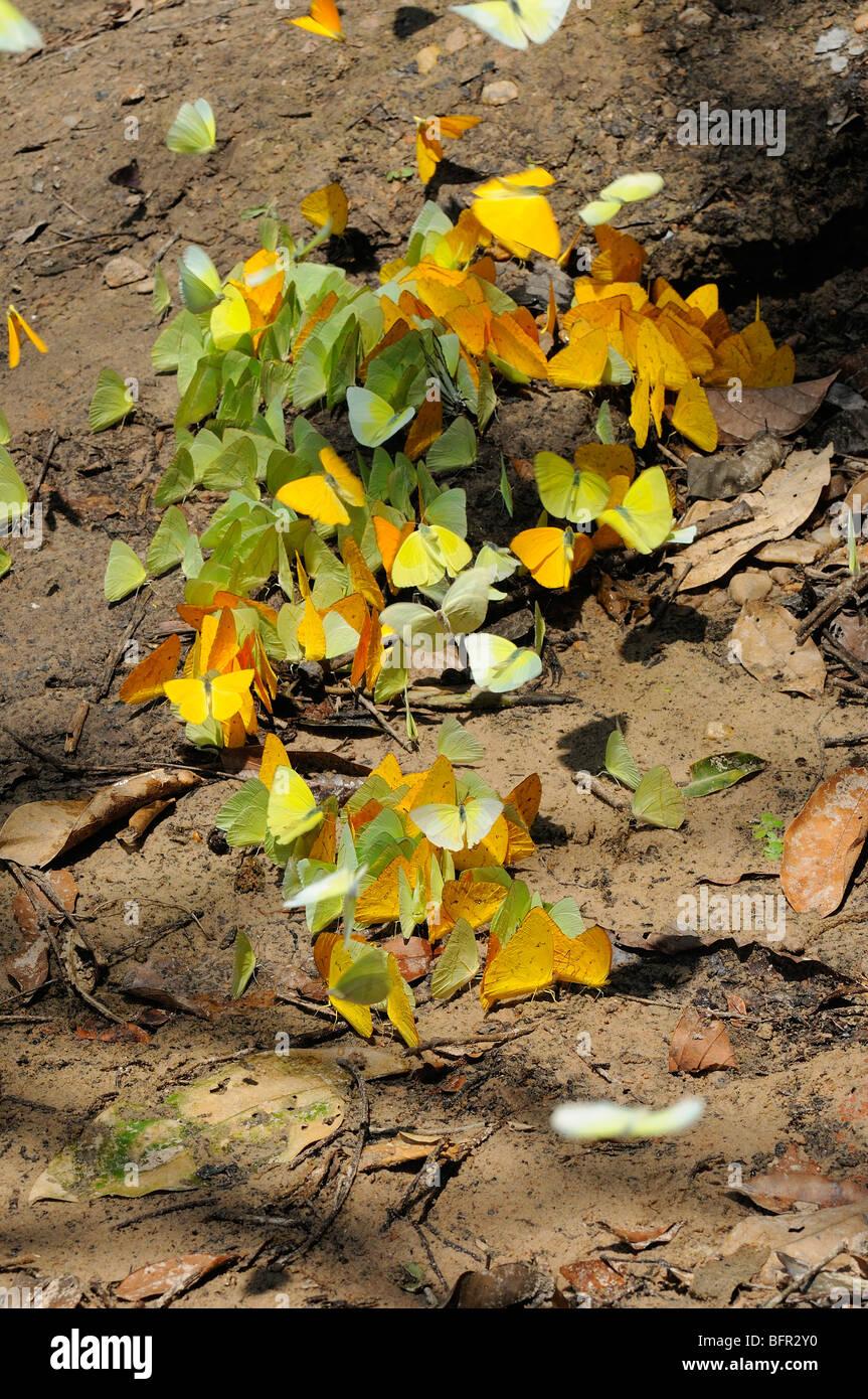 Sulphur Butterflies (Pieridae/Colianidae) mass feeding on sandy ground on minerals, Alta Floresta, Brazil - Stock Image