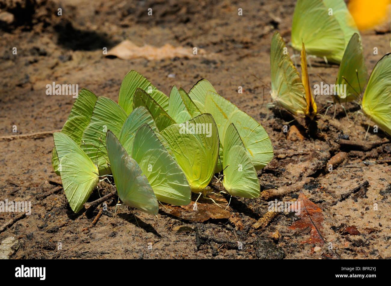 Sulphur Butterflies (Pierida/Colianidae) group feeding on sandy ground on minerals, Alta Floresta, Brazil. - Stock Image