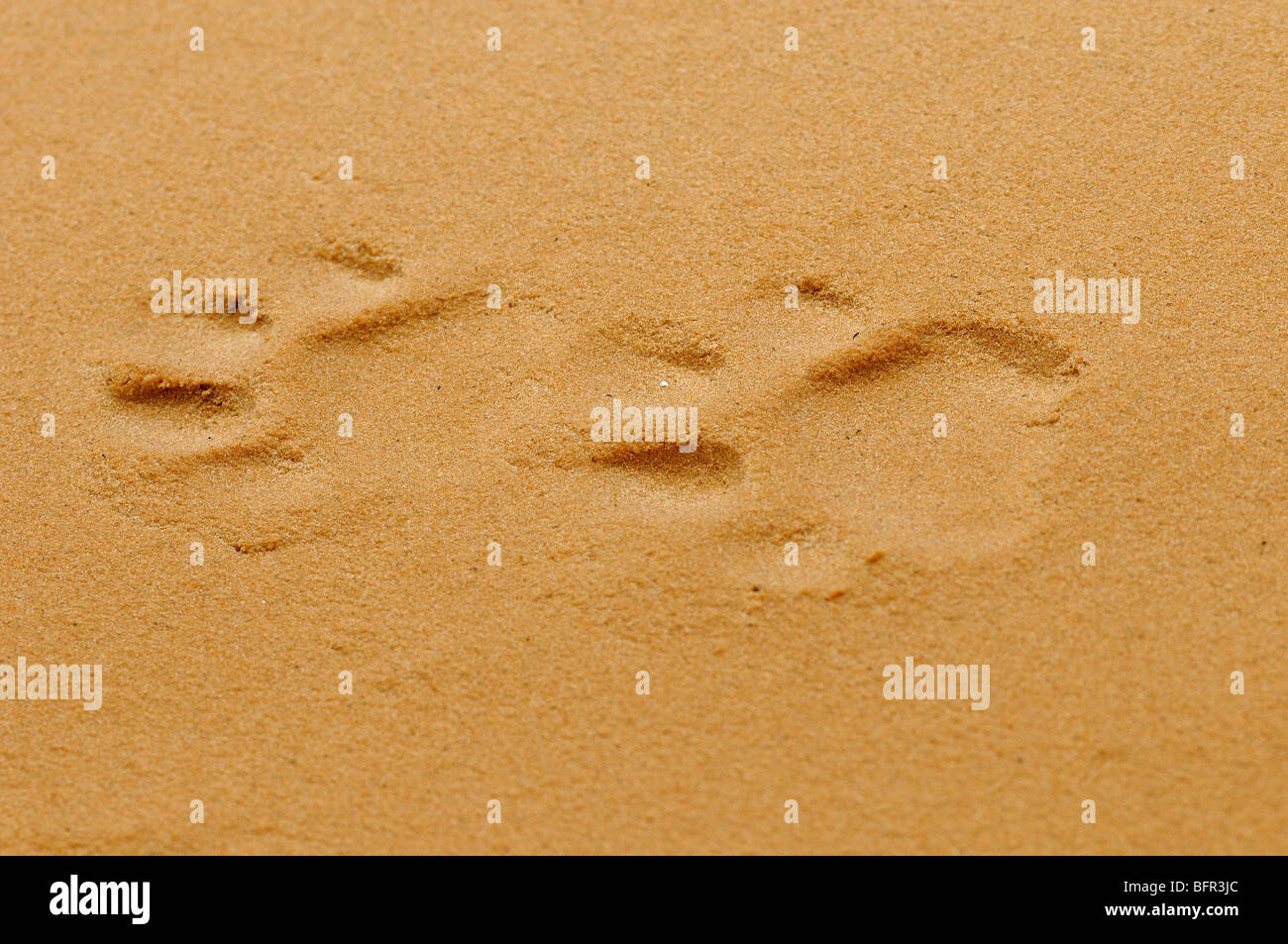 Jaguar (Panthera onca) footprints in sand, Pantanal, Brazil. - Stock Image