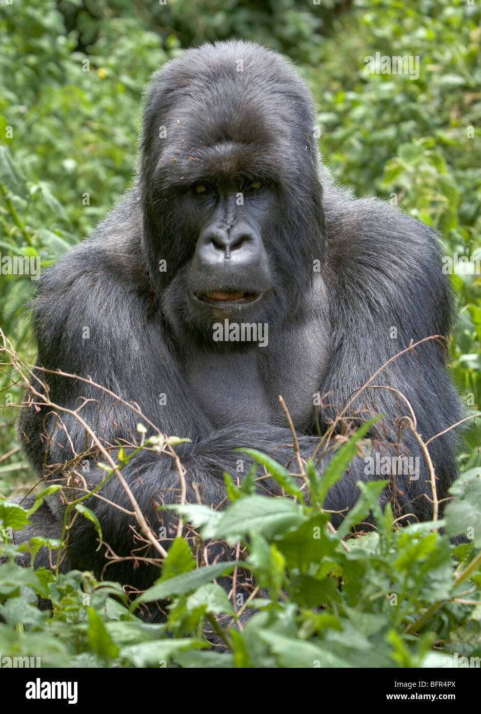 Mountain gorilla portrait - Stock Image