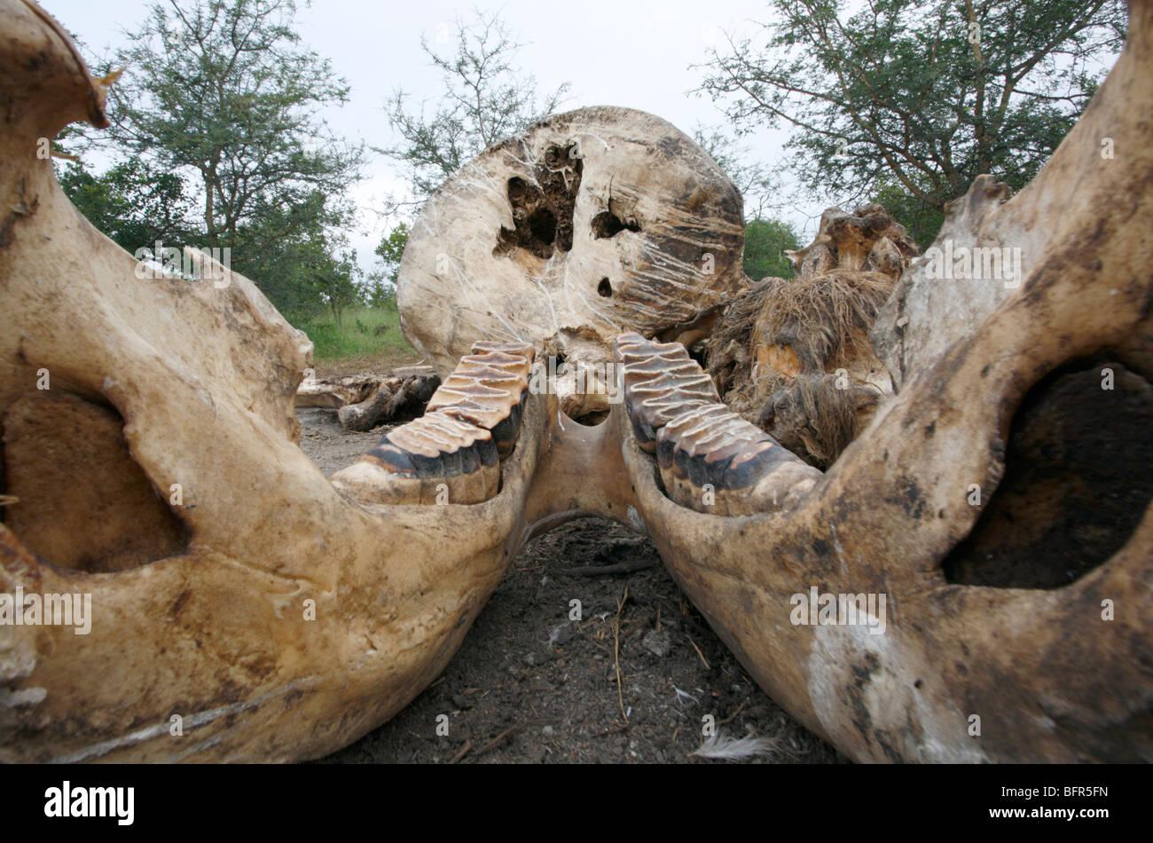Elephant skull and jawbone showing the molars - Stock Image