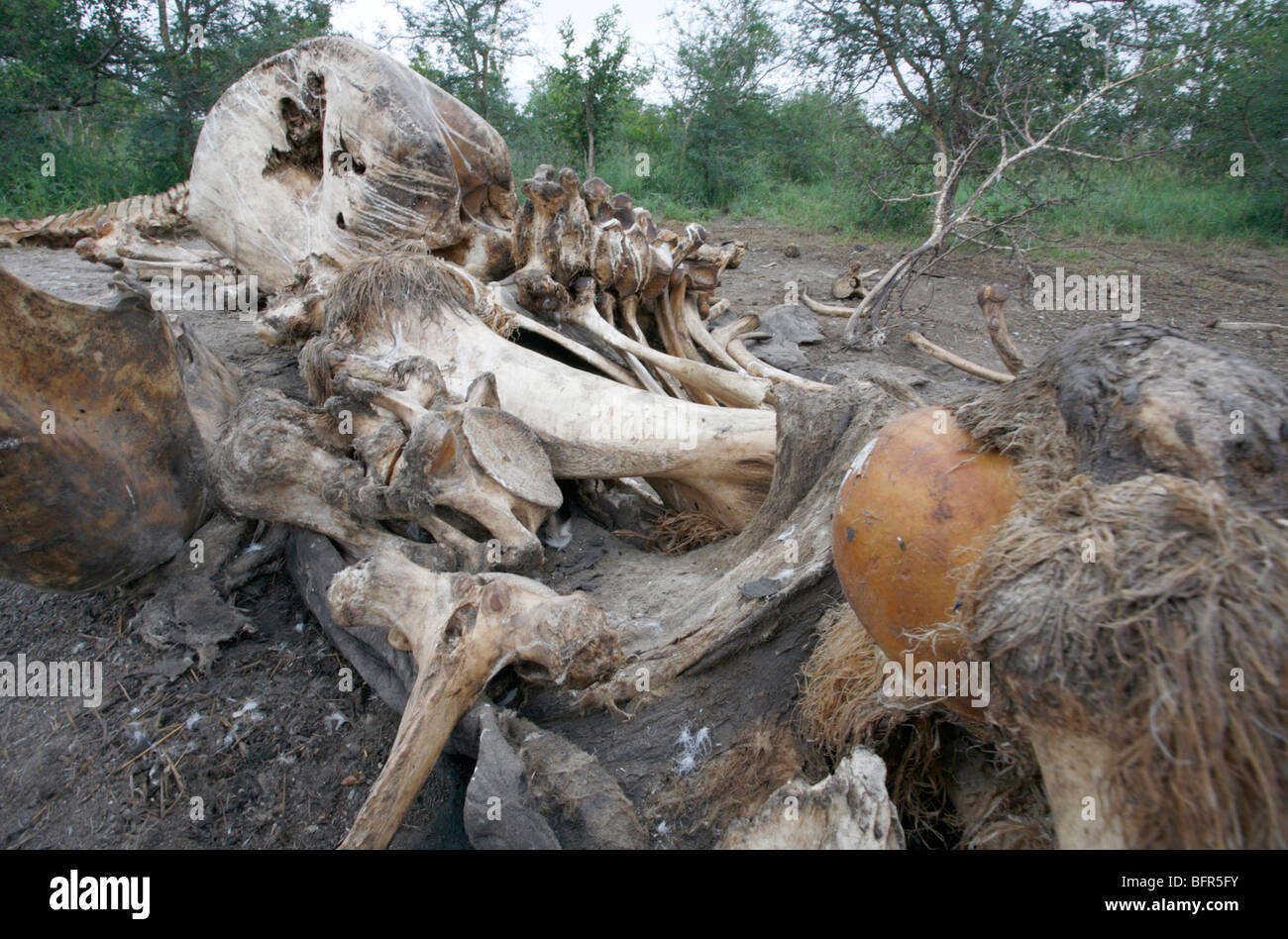 Elephant bones remaining after scavengers have cleaned them - Stock Image