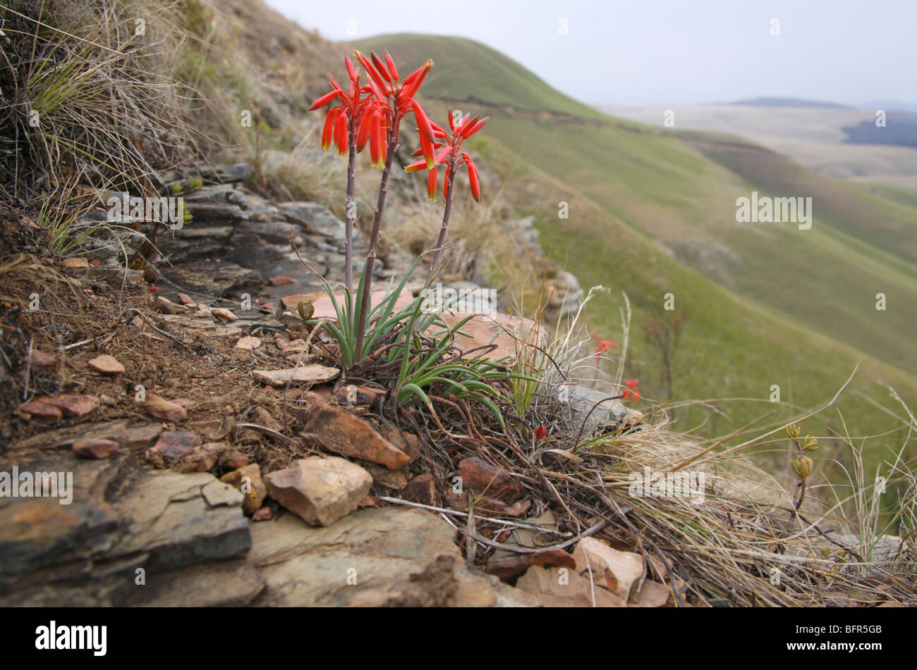 An unidentified Aloe plat growing on the slopes of Hartebeestvlakte near Sabie in the Transvaal Drakensberg - Stock Image