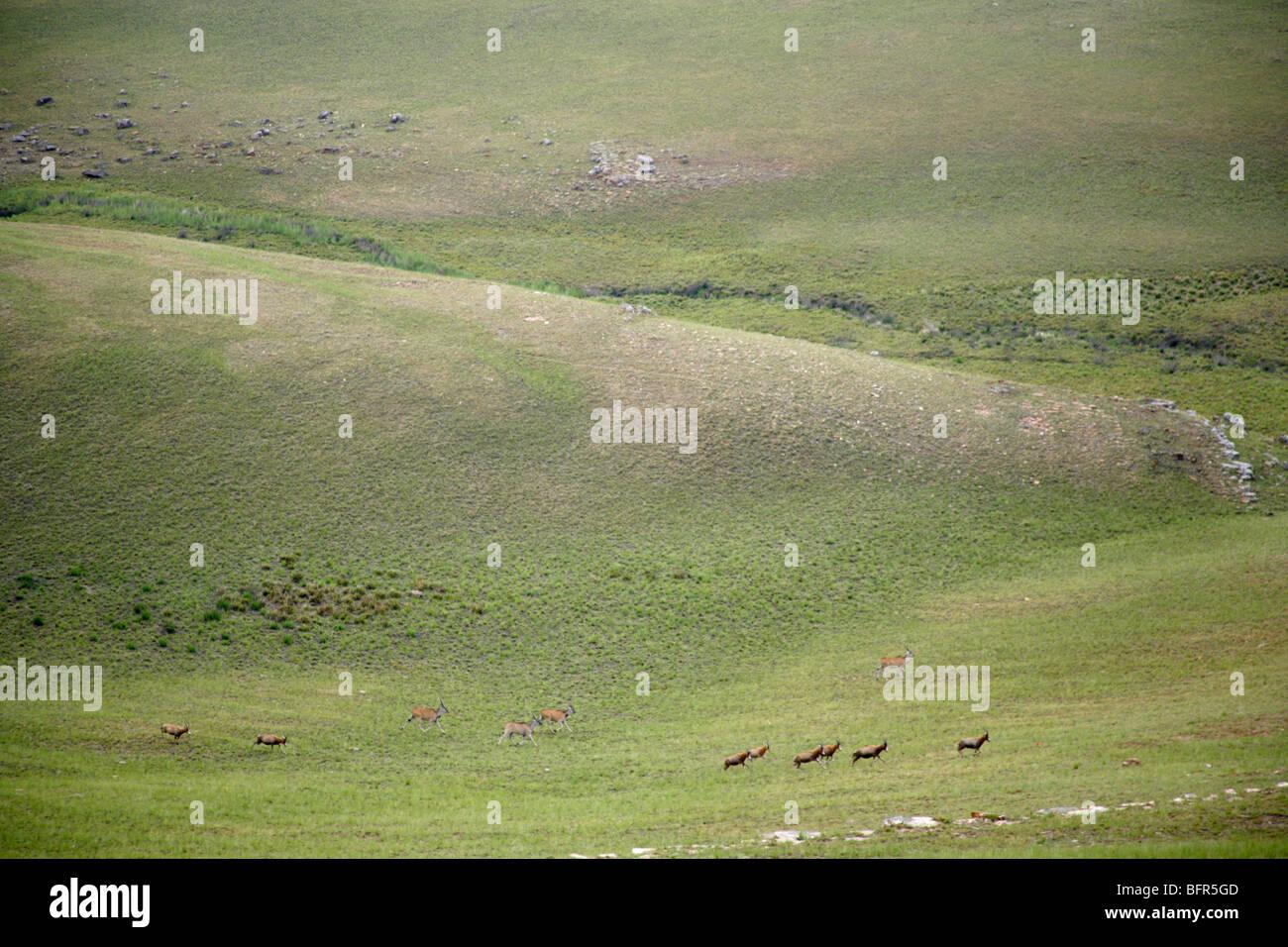 A herd of eland and blesbok on the grasslands of Hartebeestvlakte in the Transvaal Drakensberg - Stock Image