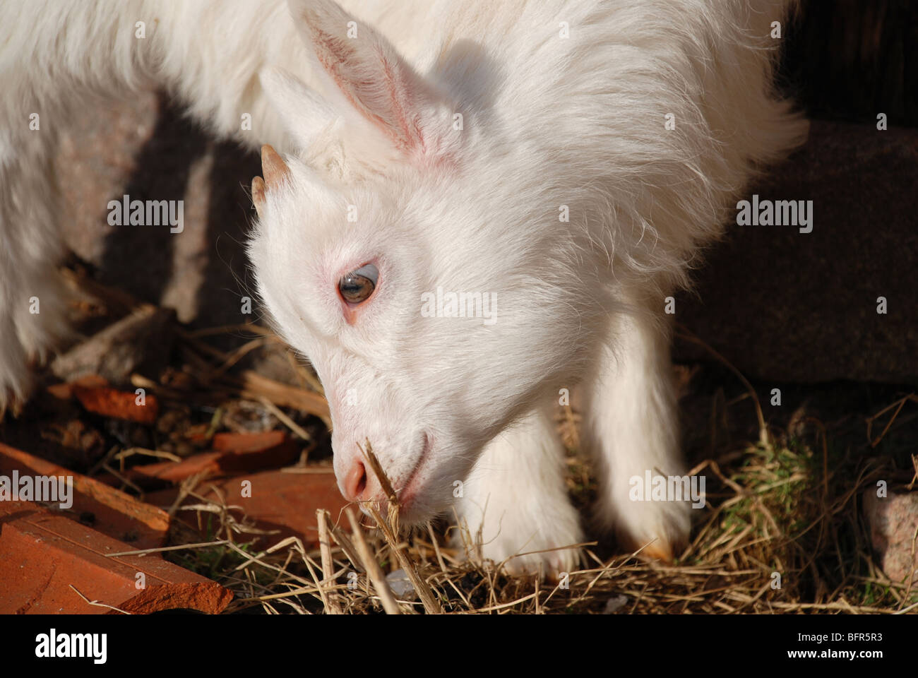 Goat smell on grass - Stock Image