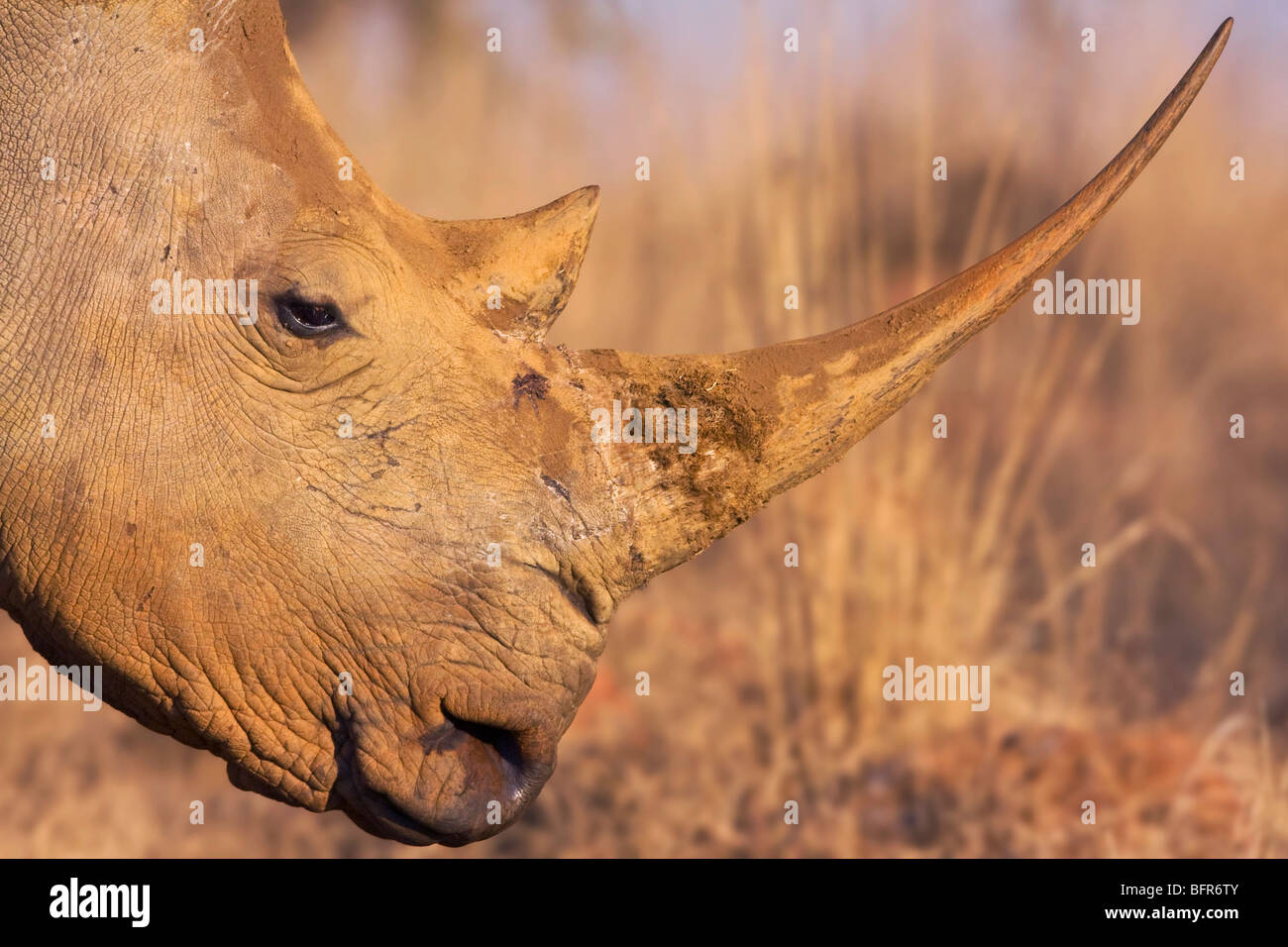 Side view close-up of White rhino with long horn - Stock Image