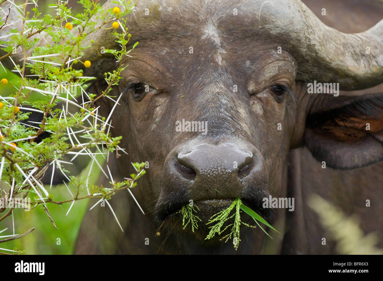 Portrait of a Buffalo feeding on leaves of a thorn tree - Stock Image