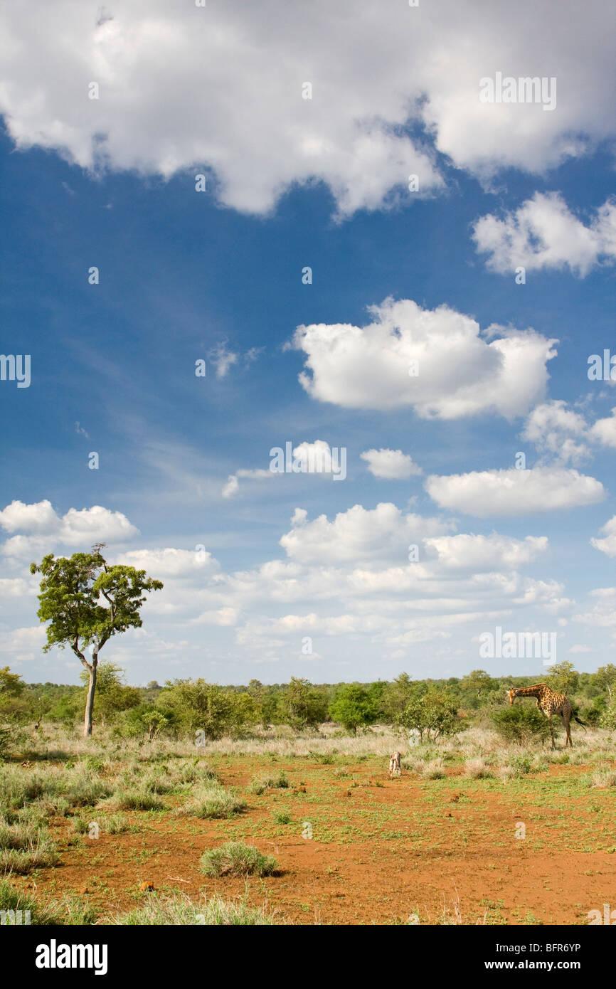 Bushveld landscape with giraffe - Stock Image