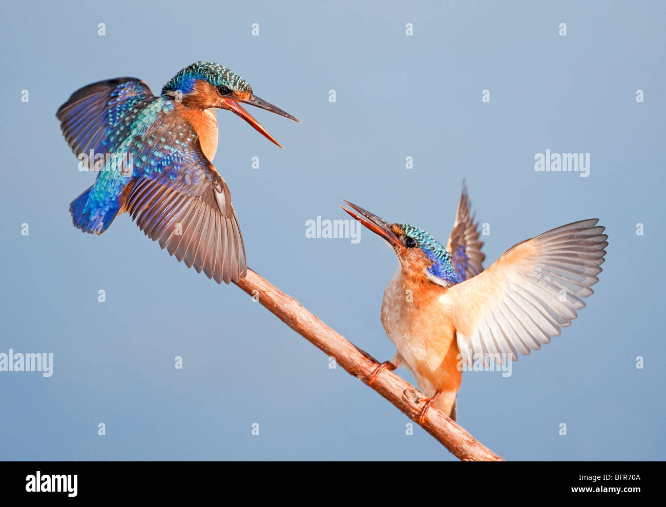 Malachite Kingfisher pair with wings raised interacting on branch - Stock Image
