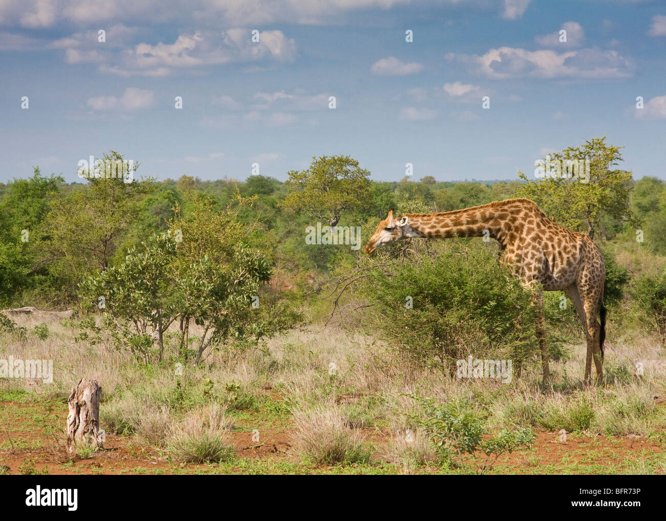 Lone Giraffe browsing on shrubs - Stock Image