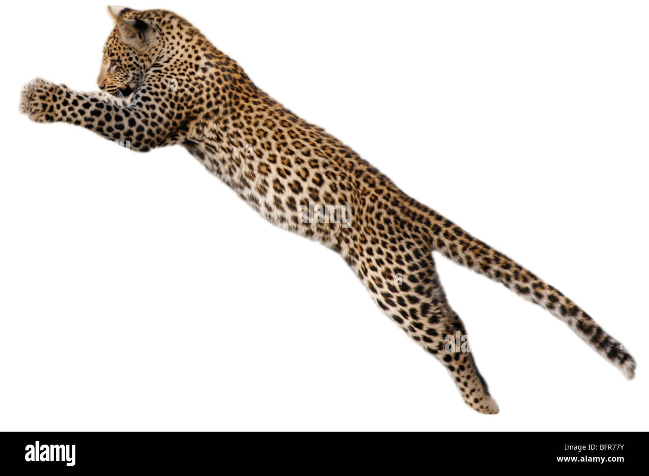 Leopard cub leaping cut-out - Stock Image