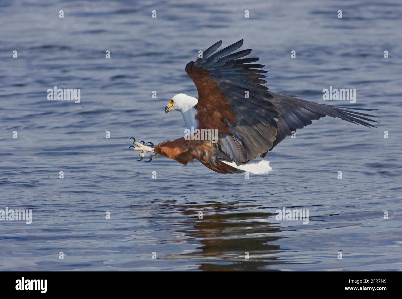African fish eagle with talons outstretched in fishing action - Stock Image