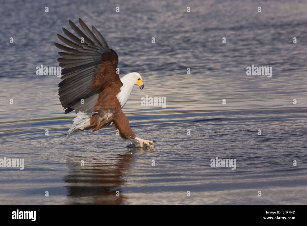 African fish eagle plunging its talons into water to catch a fish - Stock Image