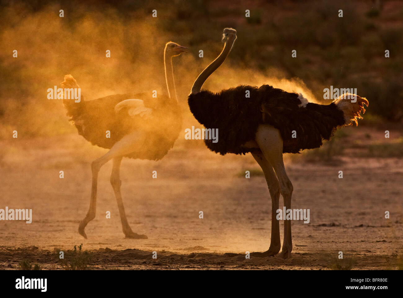 Ostrich Pair Stock Photos Amp Ostrich Pair Stock Images Alamy