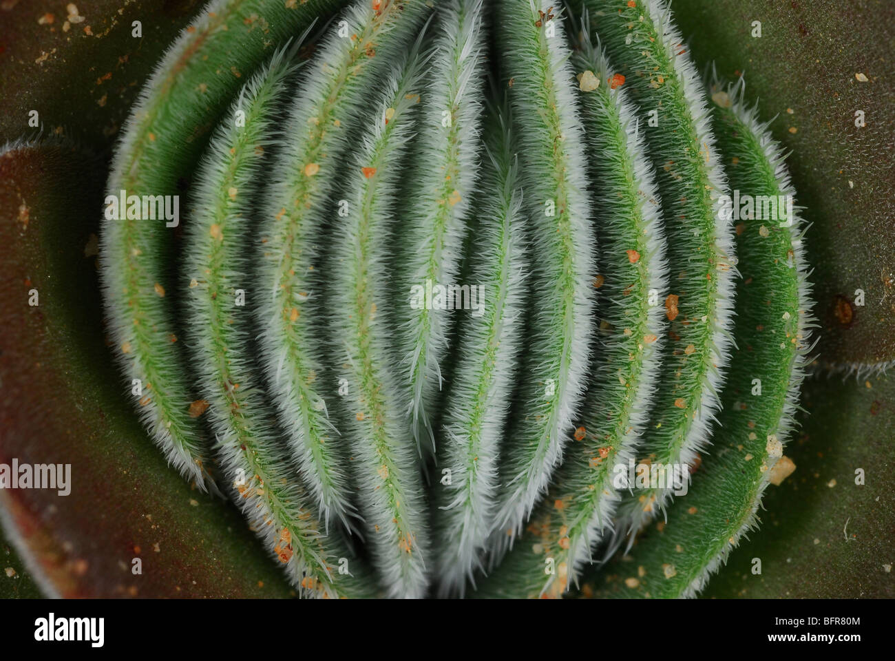 Close-up of hairy leaves of plant - Stock Image