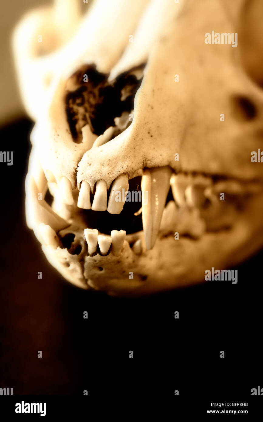 Skull and teeth of a Red Fox (Vulpes vulpes) - Stock Image
