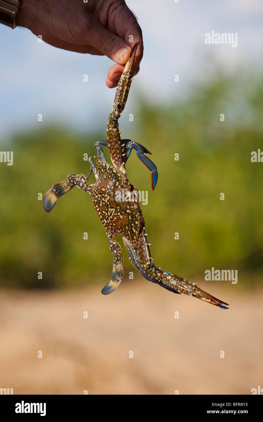 A mud crab held up by its pincer - Stock Image
