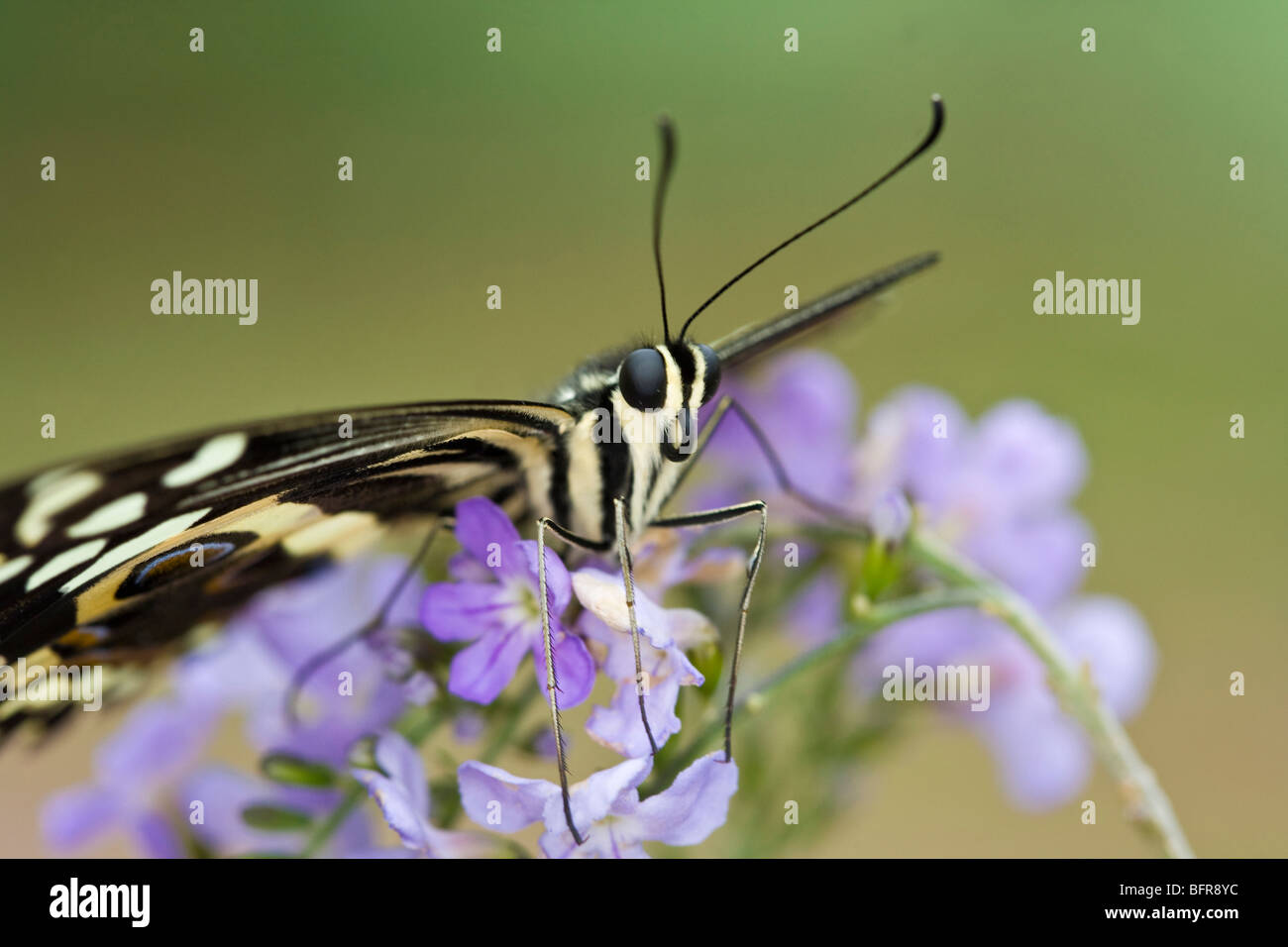 Butterfly on a lilac flower - Stock Image
