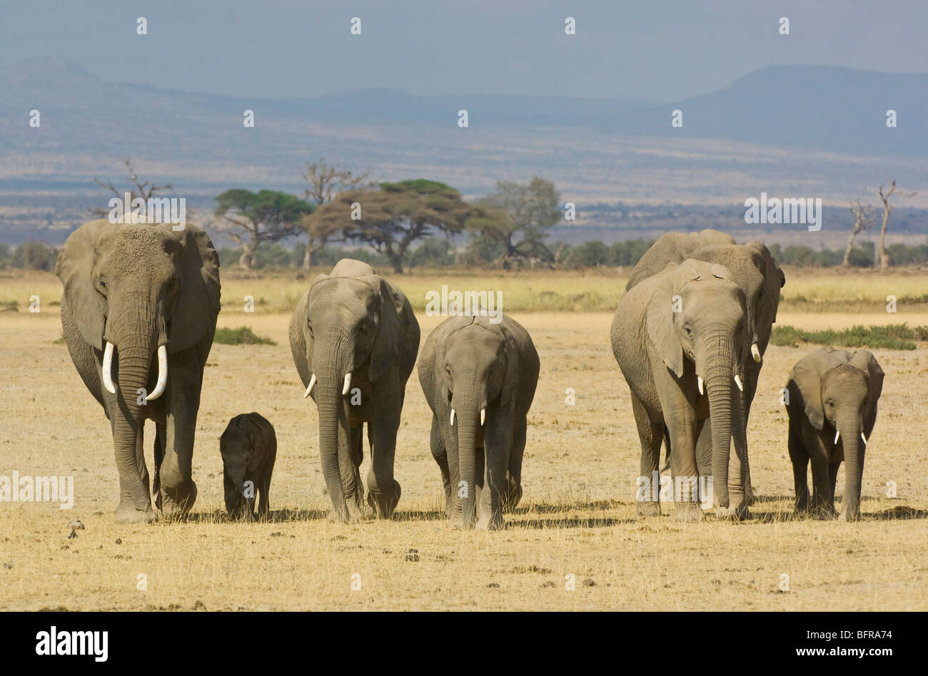 A family of elephants moves across the open grasslands of Amboseli - Stock Image