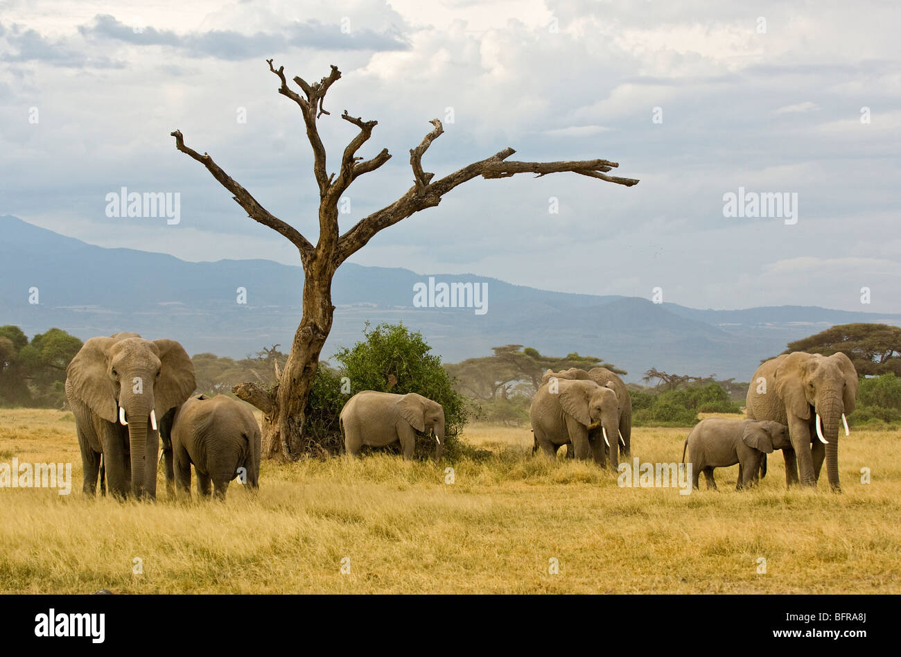 A herd of elephants stops on their way to the daytime feeding grounds on the plains to allow youngsters to feed - Stock Image