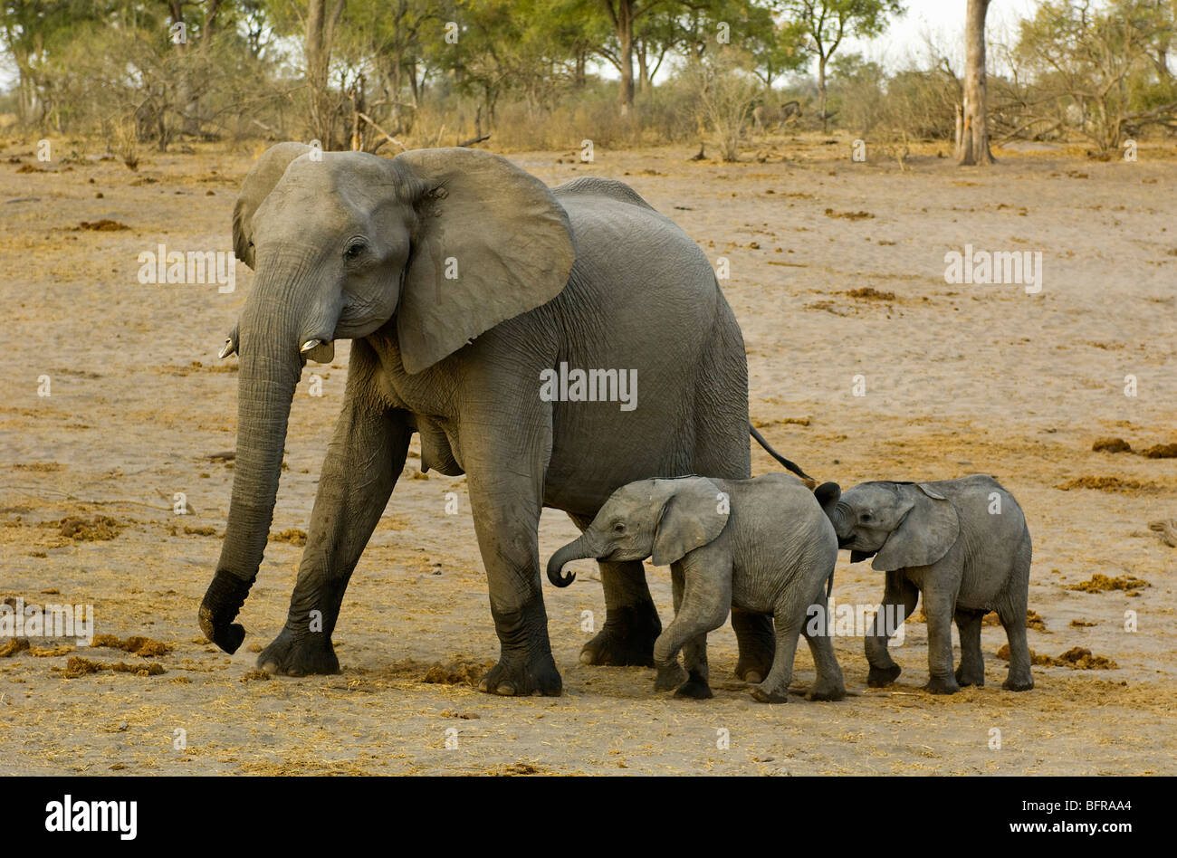 African Elephant mother with twins (Loxodonta africana) - Stock Image