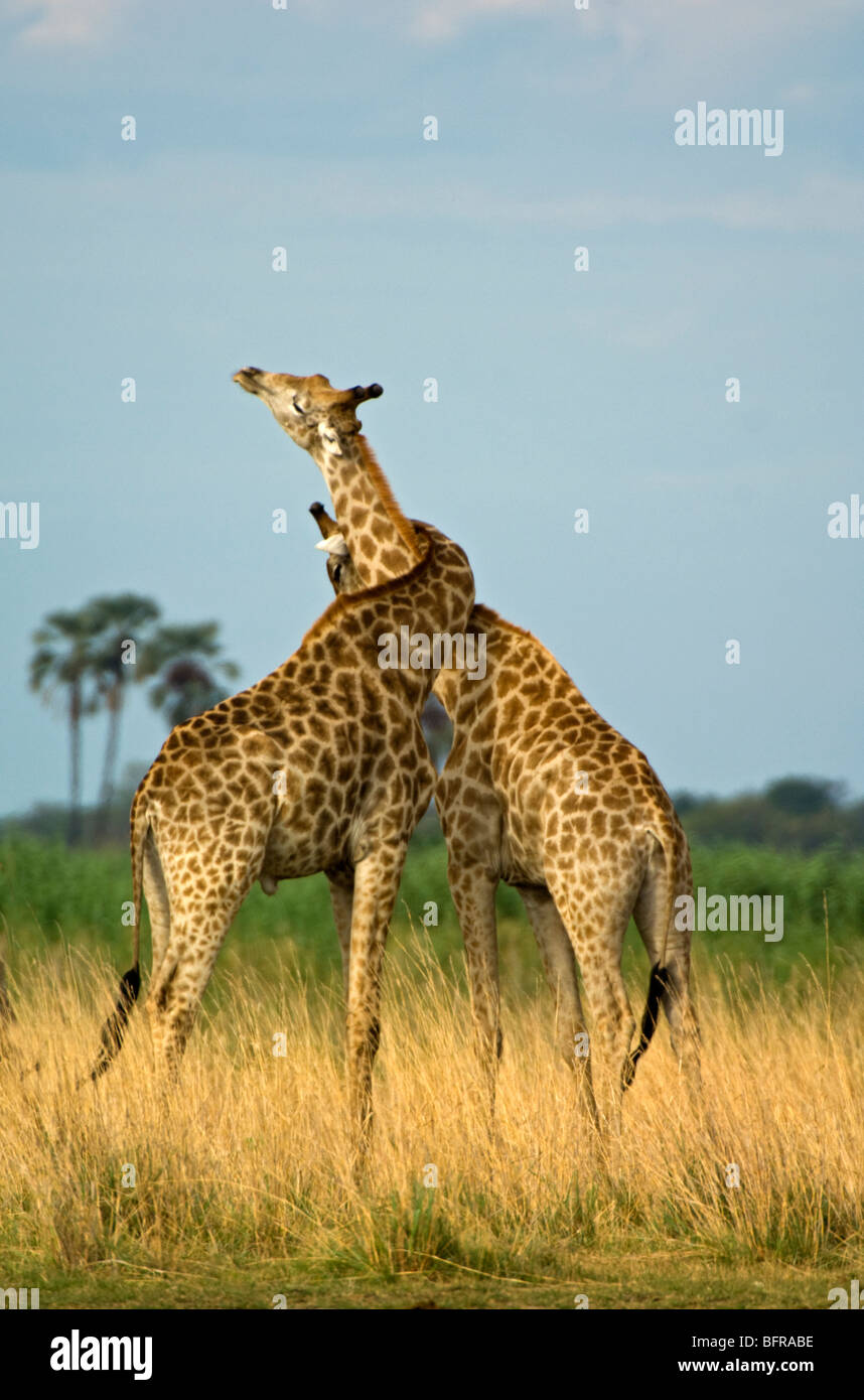 Giraffes neck-wrestling as part of their dominance behaviour - Stock Image