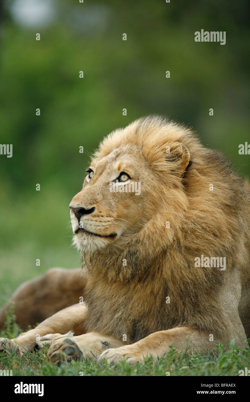 Portrait of a male lion with substantial mane gazing upwards - Stock Image