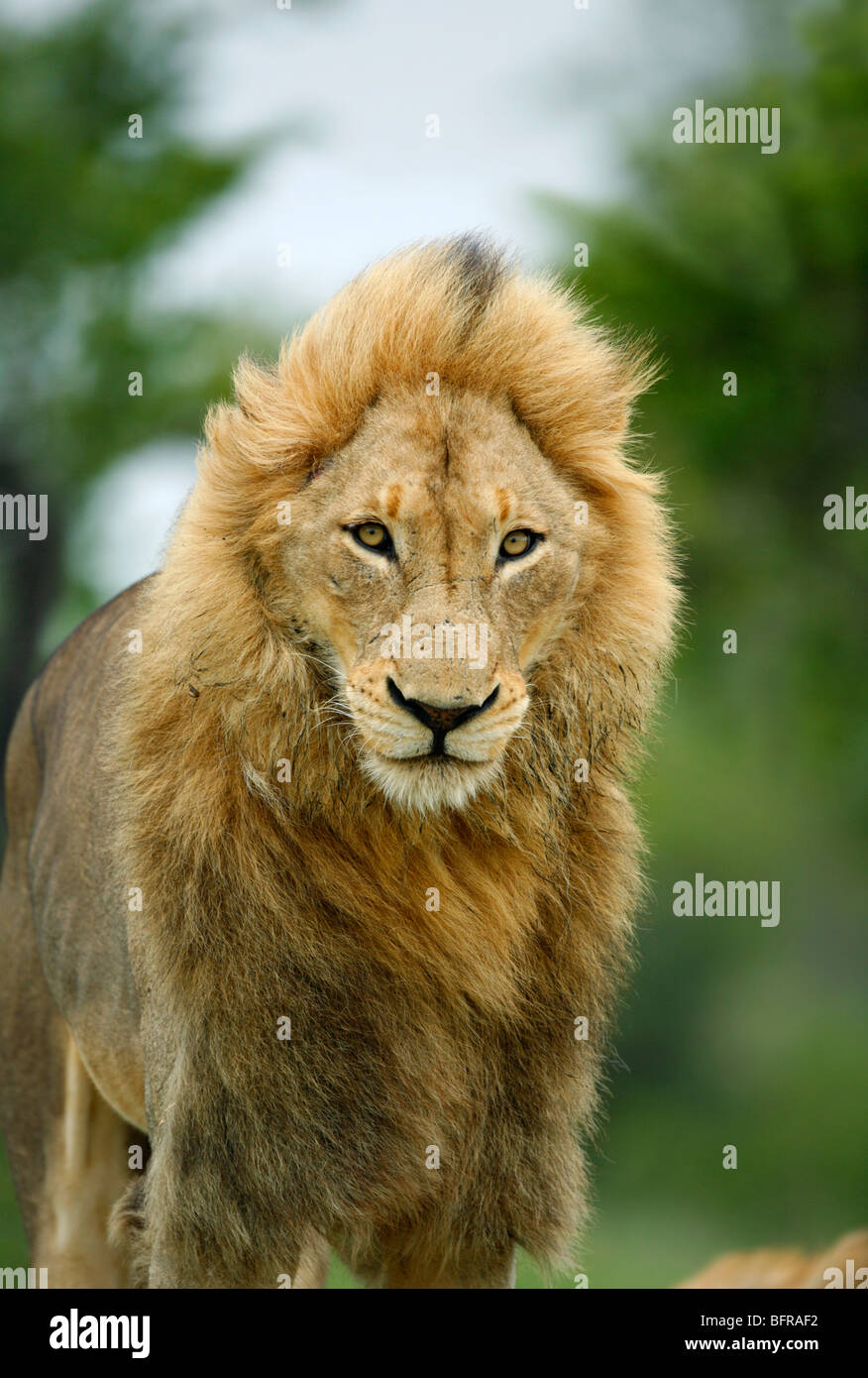 Portrait of a male lion with substantial mane standing up and stretching - Stock Image
