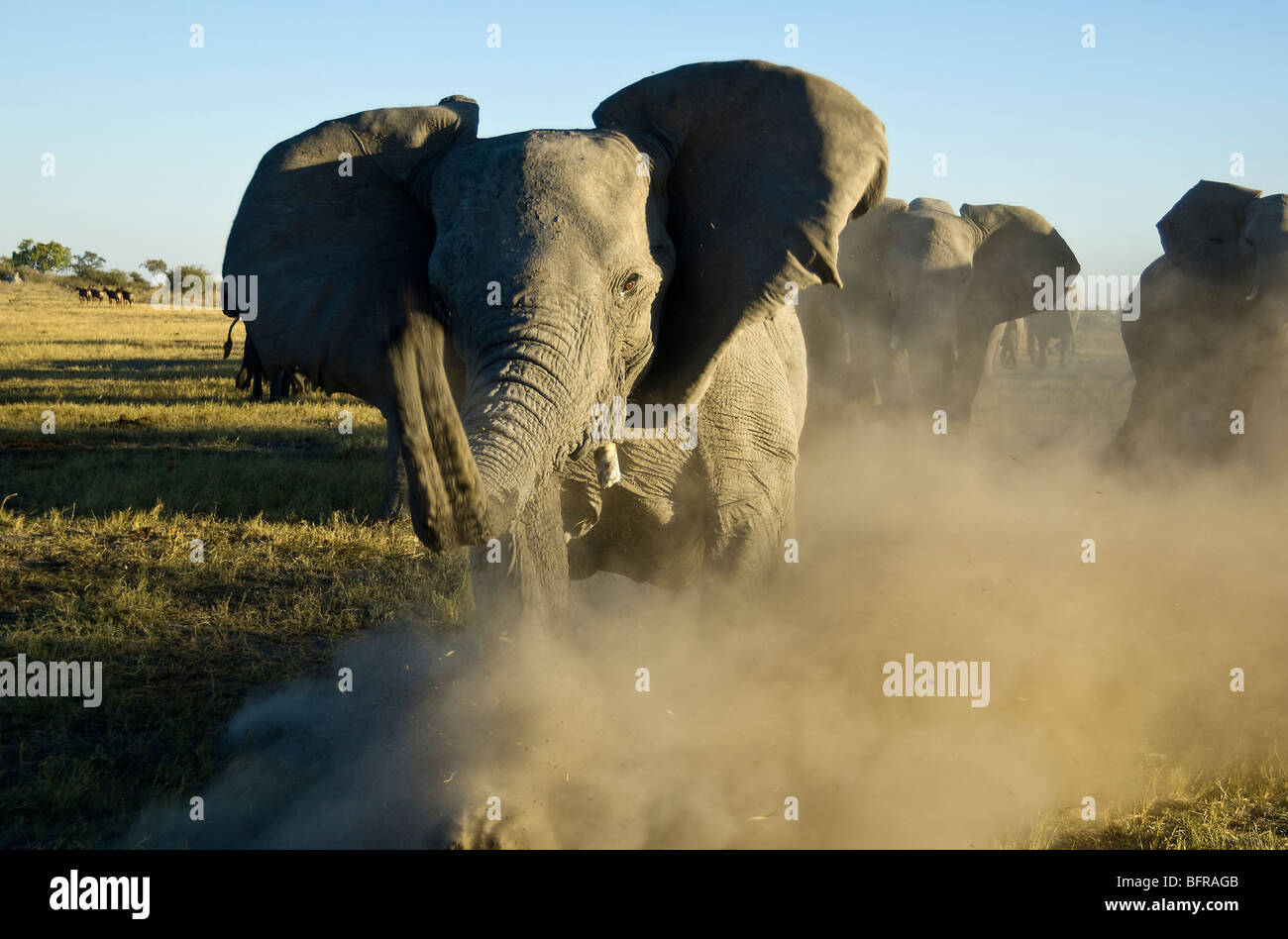 An angry elephant cow charges in a cloud of dust - Stock Image