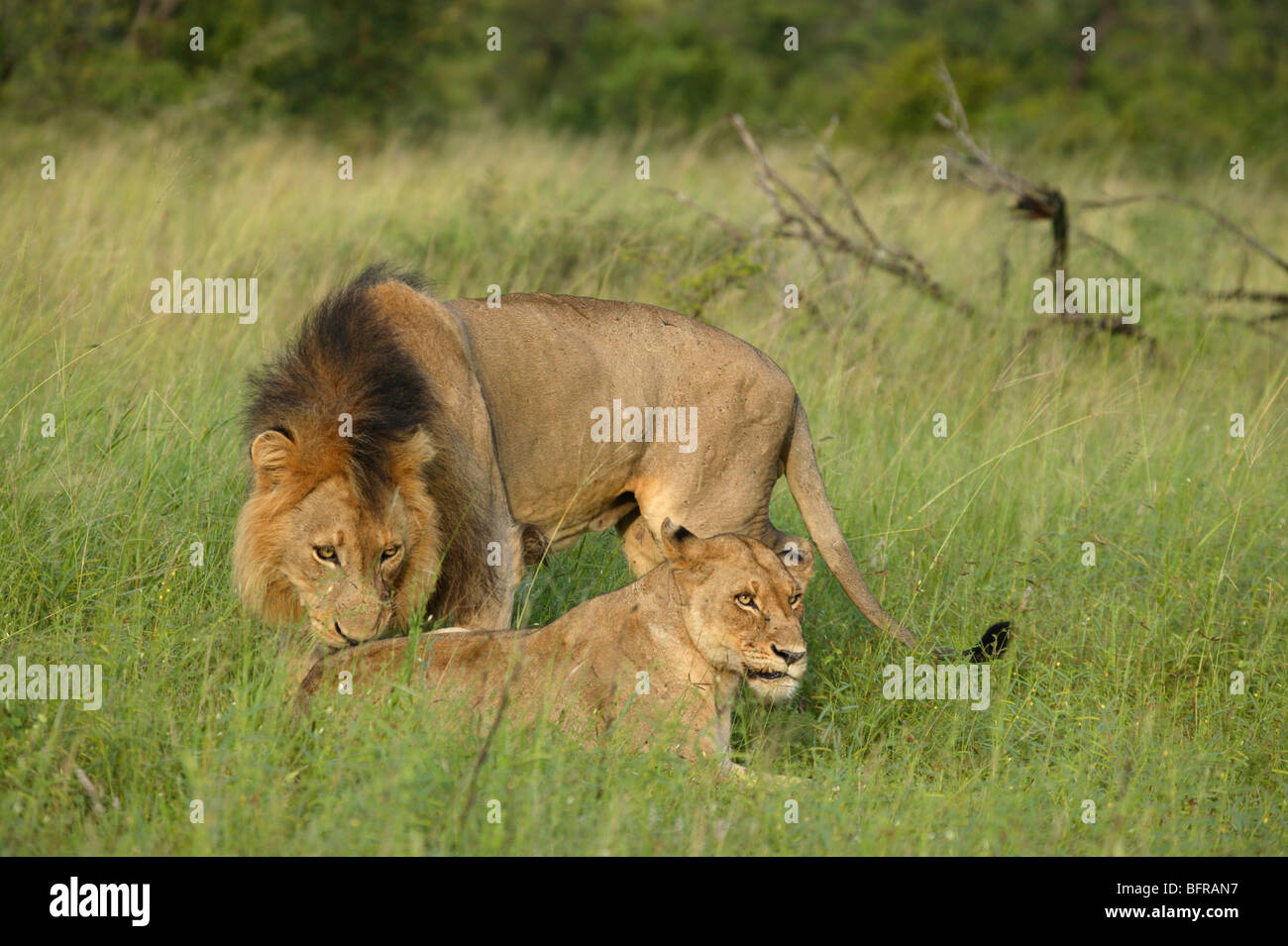 Mating pair of lions with a male sniffing to test the female's readiness to mate - Stock Image
