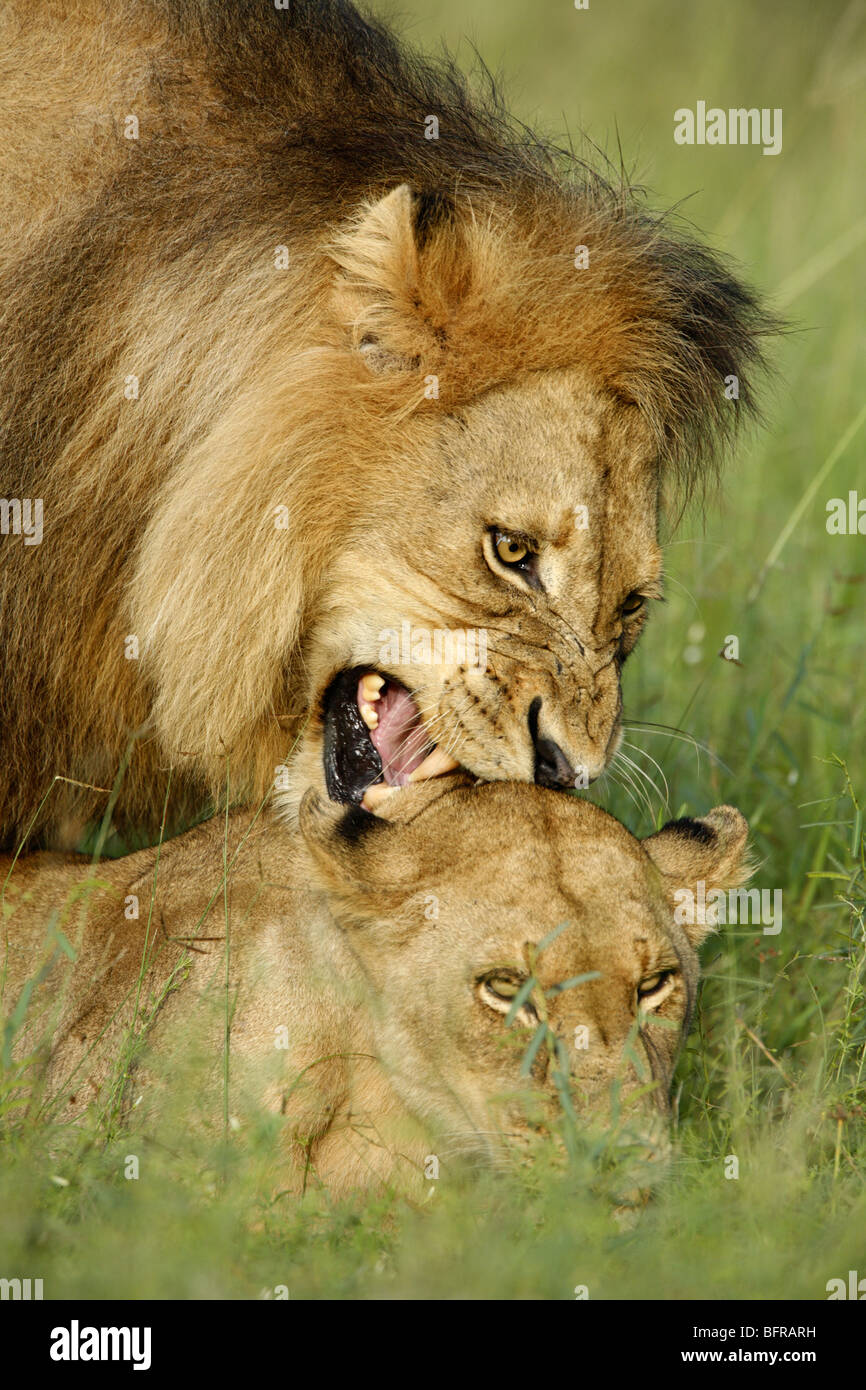 Tight portrait of lions mating showing how the male bites the skin on the nape of the female's neck - Stock Image