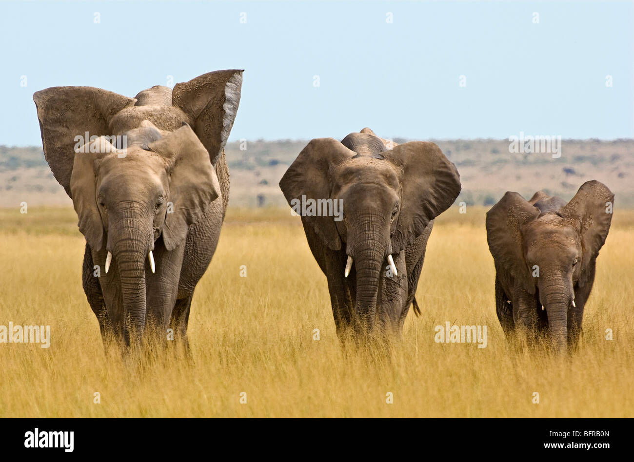A small family group of elephants makes its way across the open grasslands of Amboseli's plains. - Stock Image
