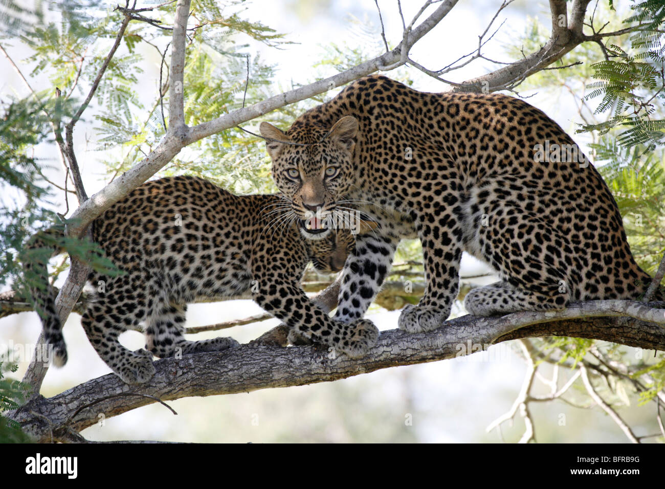 A leopard and cub in a tree with the mother snarling - Stock Image