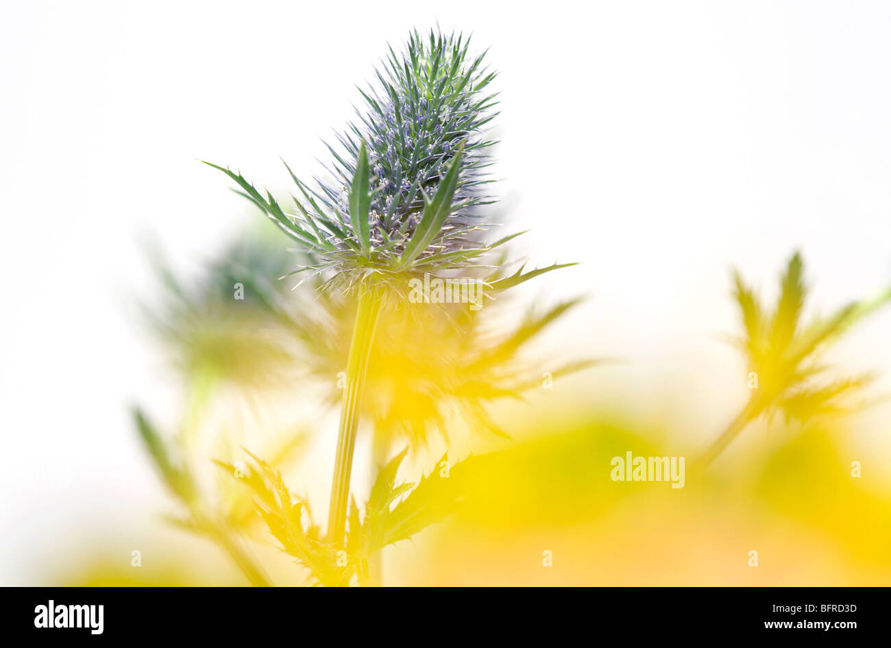 sea holly thistle type plant - Stock Image