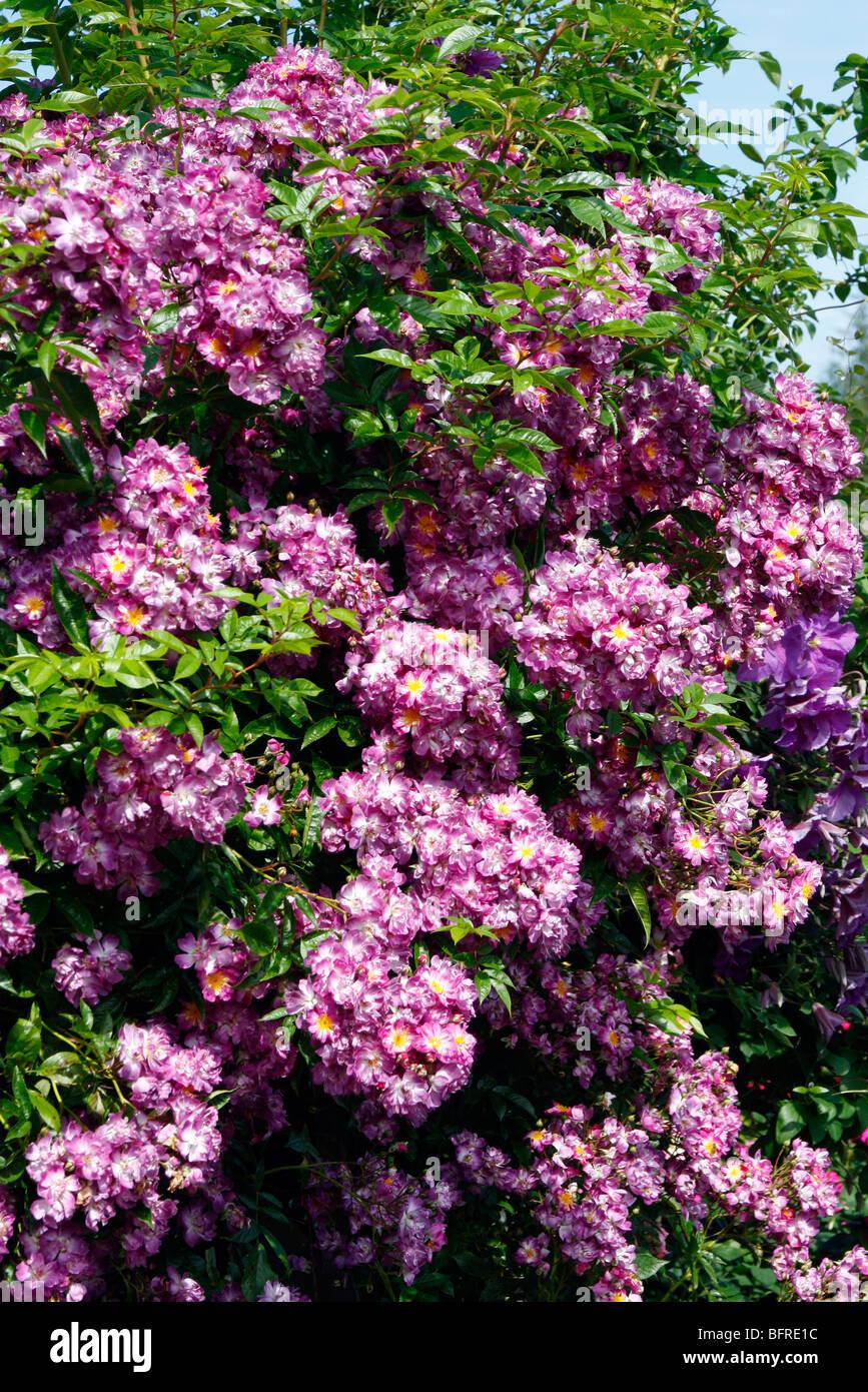 Rosa 'Veilchenblau' AGM Rambler Rose - Stock Image