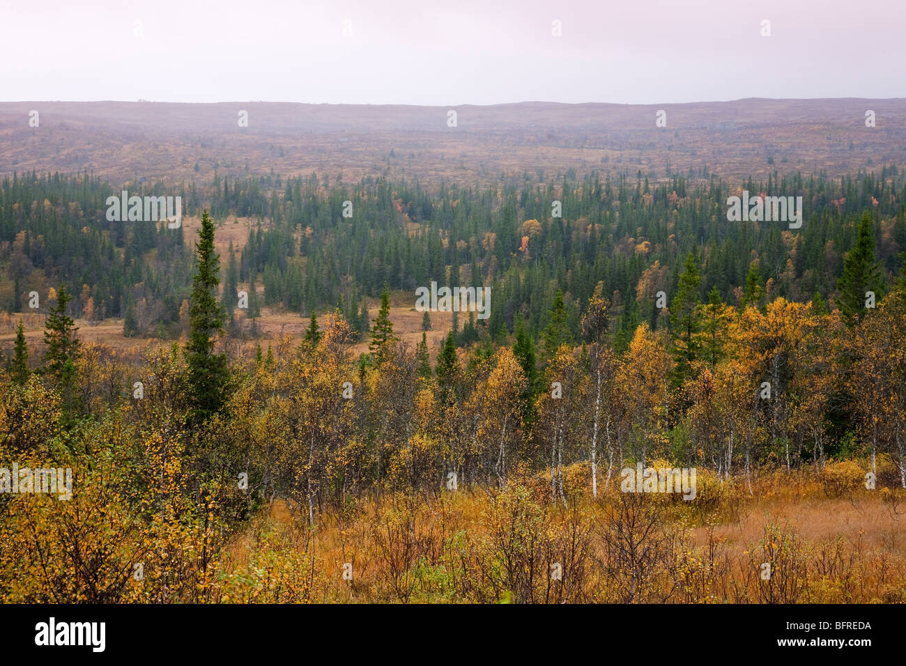 Mountain landscape with coniferous forest in autumn and autumn colours on birch trees Storlien jämtland Sweden - Stock Image