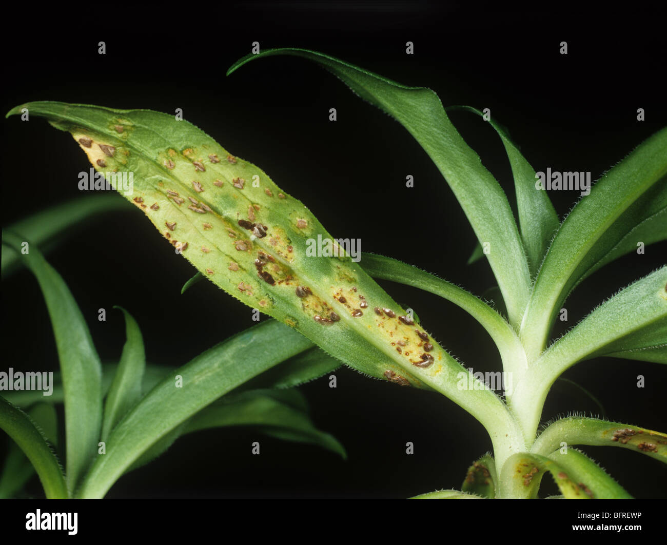 Carnation rust (Puccinia arenariae) pustules on sweet william (Dianthus barbatus) - Stock Image