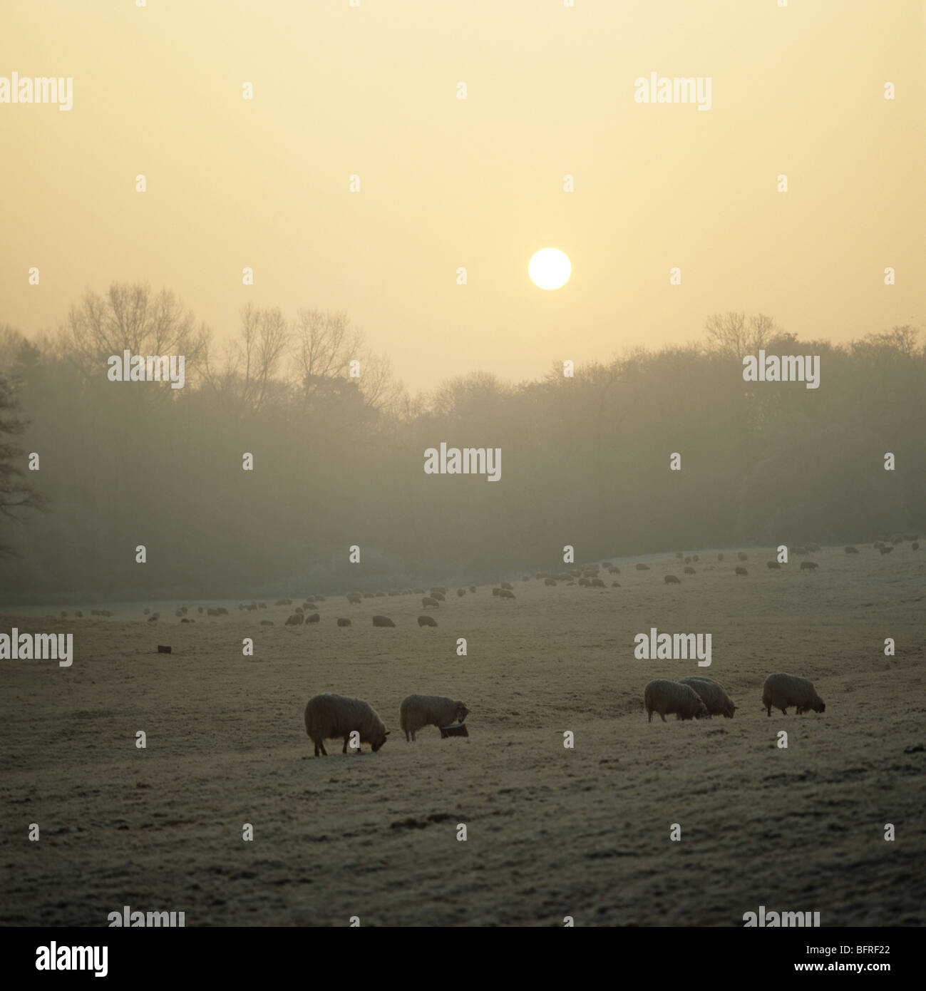 Pasture with grazing sheep on a cold frosty, misty winter morning as the sun rises, Berkshire - Stock Image
