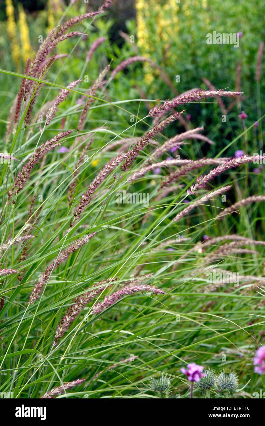 Pennisetum incomptum syn Pennisetum flaccidum - Stock Image