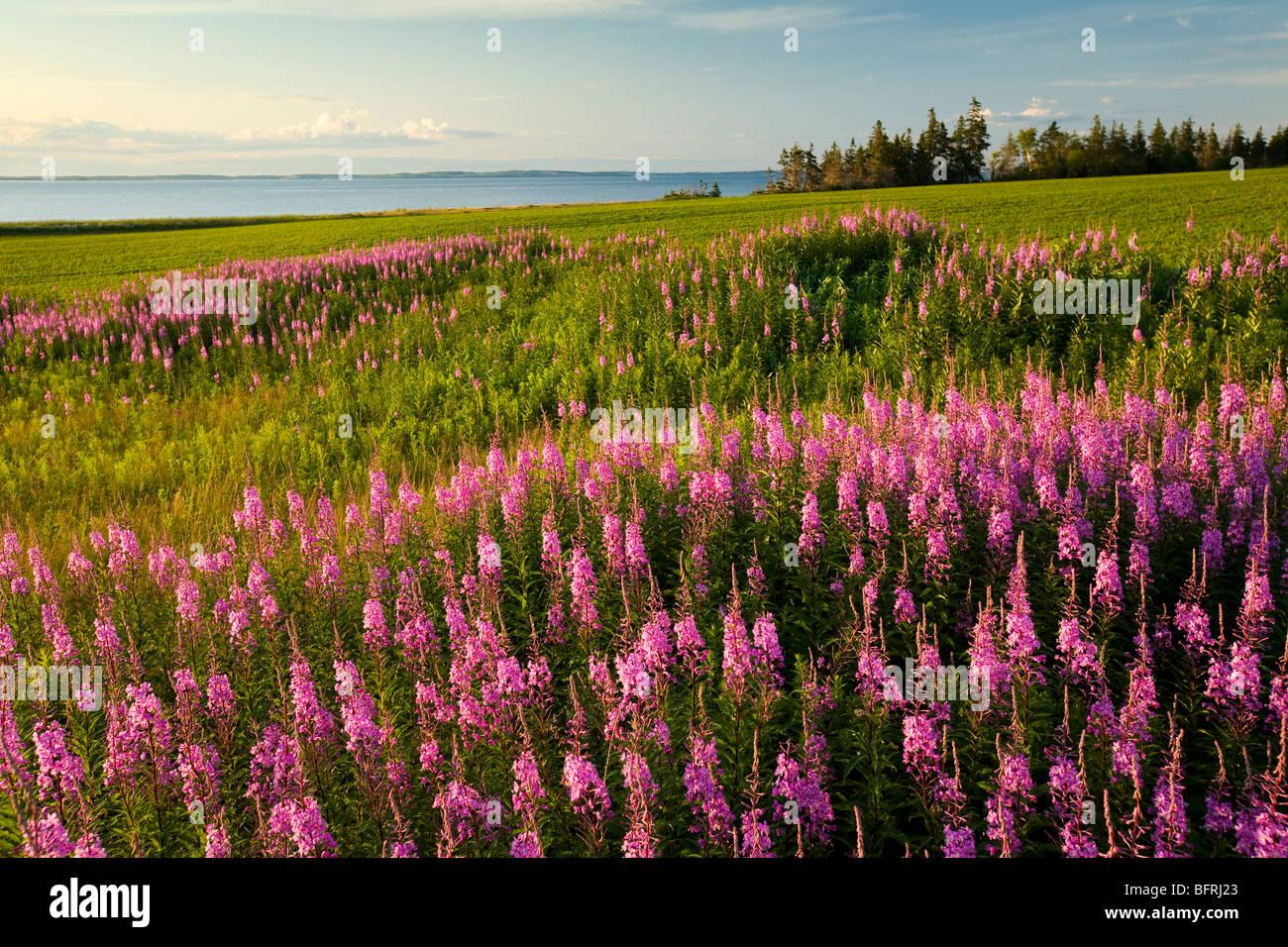 fireweed, Point Prim, Prince Edward Island, Canada - Stock Image