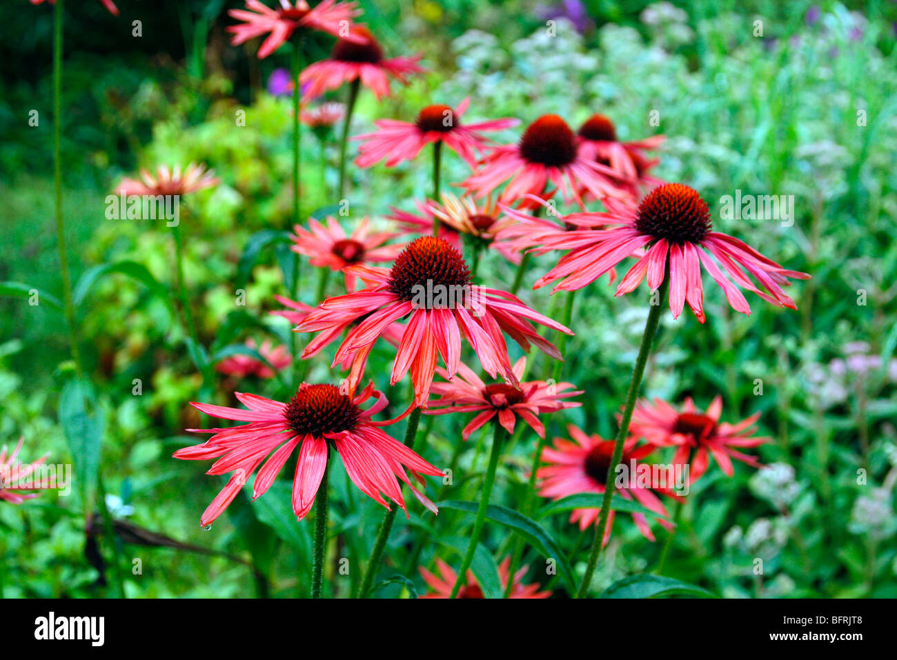 Echinacea 'Hot Summer' from Marco van Noort - Stock Image