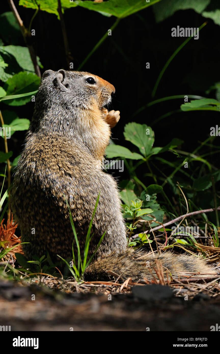 Columbian Ground Squirrel (Spermophilus columbianus) in Glacier national park Stock Photo