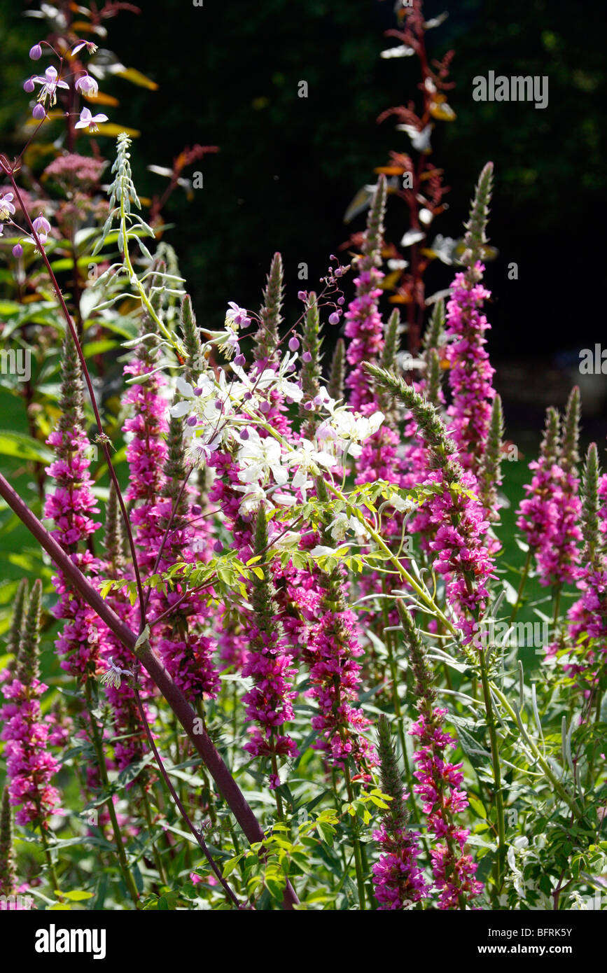 Plant combination of a pink cultivar of Lytrhrum purpurea and Chamerion angustifolium 'Album' - Stock Image