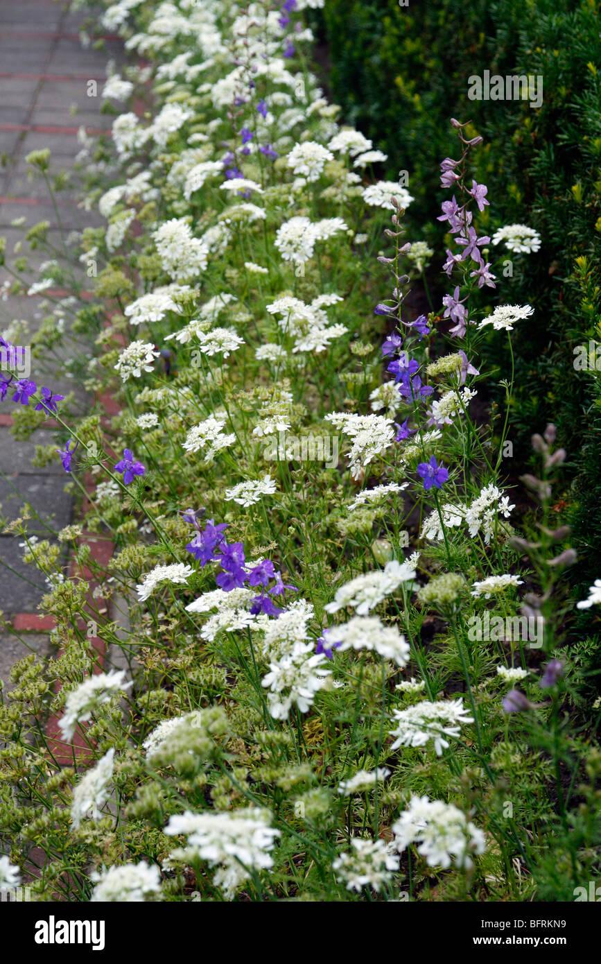 Orlaya grandiflora with Larkspur - Delphinium consolida - Stock Image
