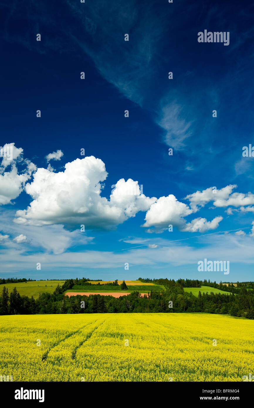 dramatic cumulus clouds over canola field in blossom, Brookfield, Prince Edward Island, Canada - Stock Image