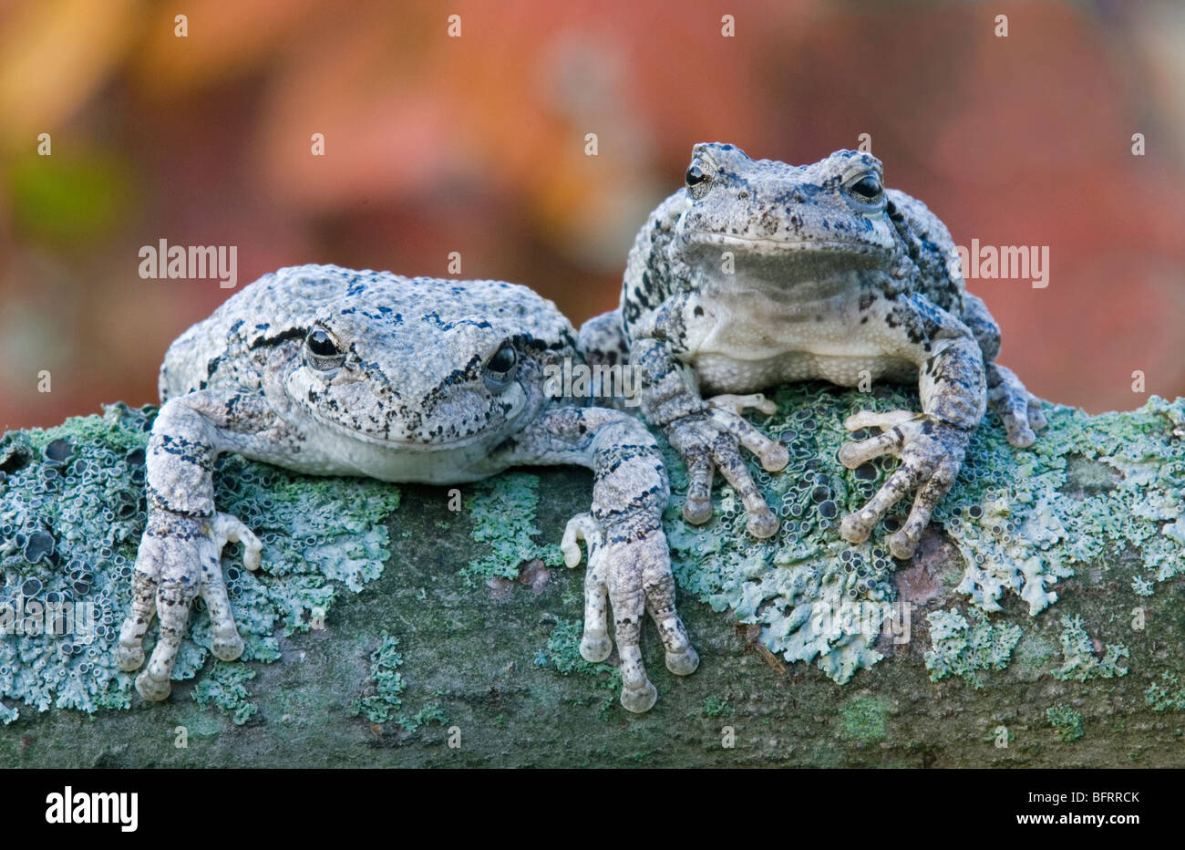 Pair of Gray Tree frogs Hyla versicolor on lichen-covered branch of tree Eastern North America, by Skip Moody/Dembinsky - Stock Image