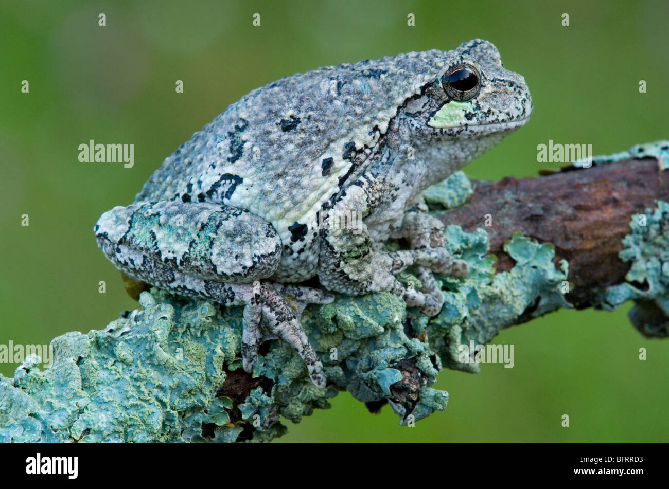 Gray Tree Frog Hyla versicolor camouflaged and blended with lichens Eastern North America, by Skip Moody/Dembinsky Stock Photo