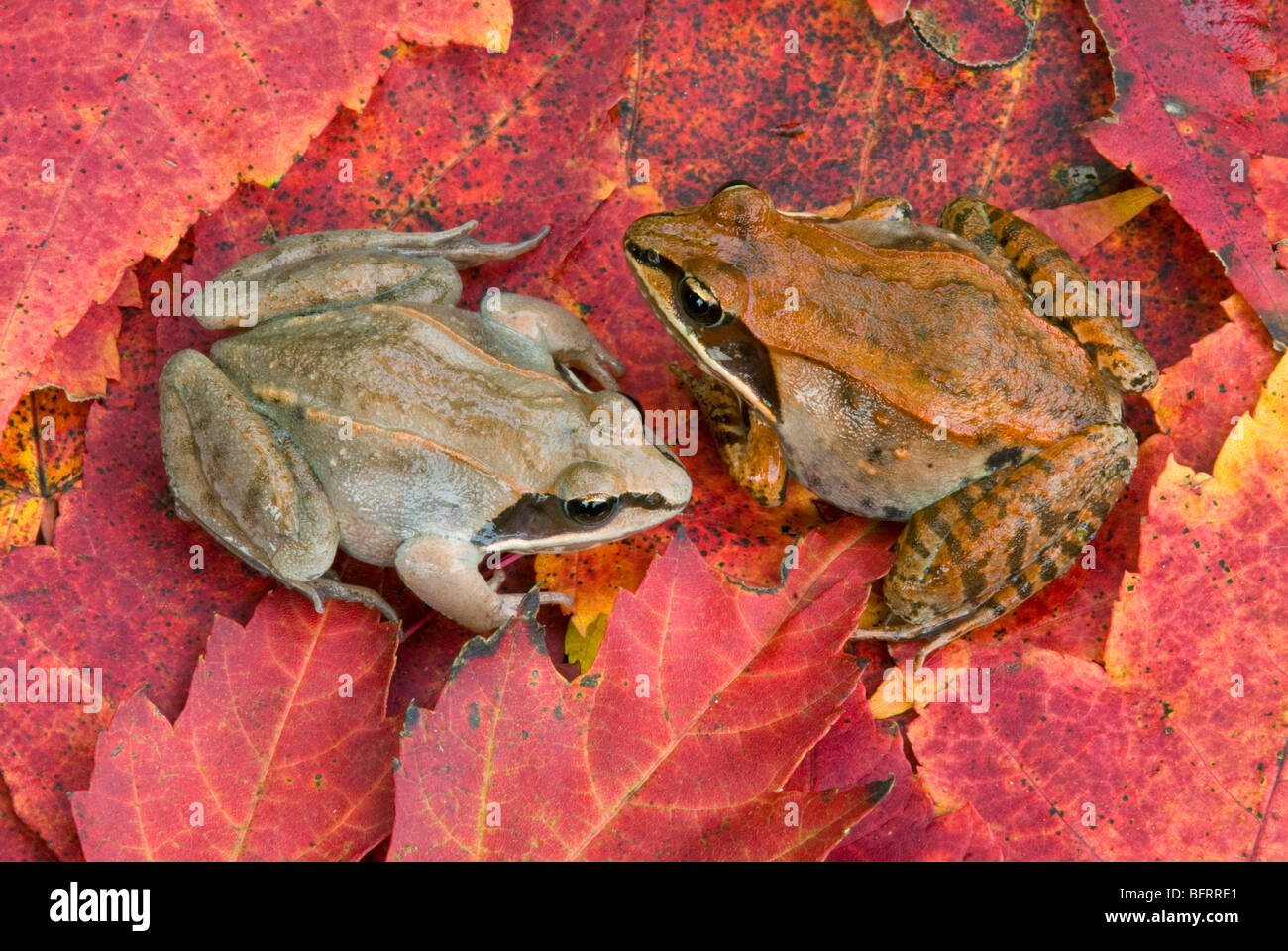 Male & Female  Wood Frogs Rana sylvatica on Red Maple Leaves Acer rubrum E USA, by Skip Moody/Dembinsky Photo AssocStock Photo