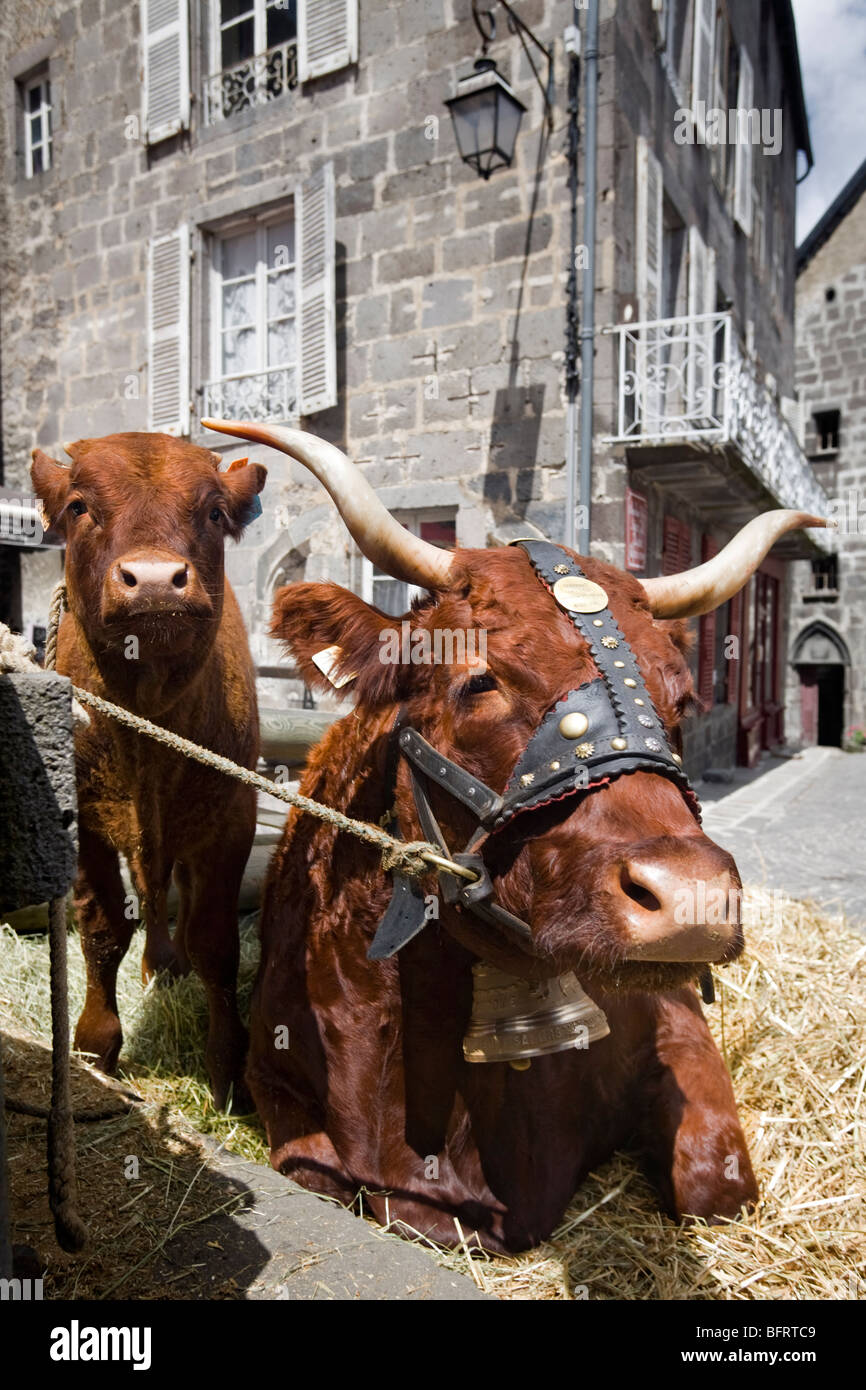 A Salers cow and its calf, at Besse en Chandesse (France). Vache de race Salers et son veau (Besse-en-Chandesse Stock Photo
